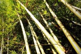 竹子到底是树还是草?