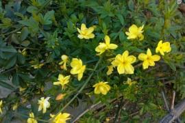 迎春花与连翘的不同与区分