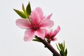如何分辨桃花、杏花、梨花、梅花、樱花、李子花、海棠花……