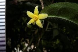 我国首次发现山茶属管蕊茶组新植物云南管蕊茶