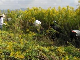 入侵中国的外来入侵植物名录