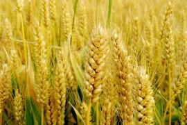 中国有哪些小麦种植区?