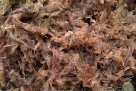 猪笼草的种植方法