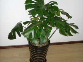龟背竹的种植方法和注意事项