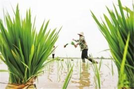 水稻种植方式知多少