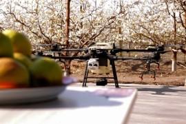 用无人机给梨树授粉,新疆库尔勒梨农变轻松