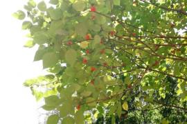 构树的雌花、雄花、果实和树叶