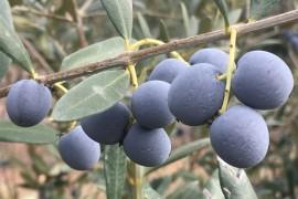 """油橄榄量身定制有了高清""""地图""""-染色体级别的基因组图谱"""