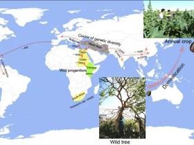科学家揭示蓖麻从树木到作物的起源和驯化历史