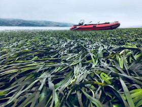 研究发现海草可以逆转海洋酸化时钟