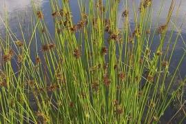 叶片退化,茎秆发达的灯芯草