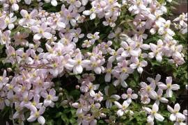 铁线莲的栽培要点及病虫害防治方法