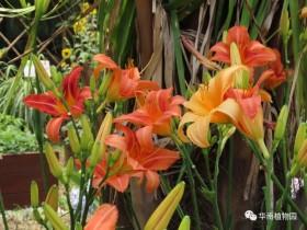 最能代表母亲花的三种花:萱草、康乃馨、鲁冰花