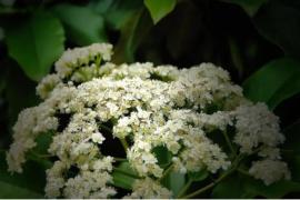 石楠花的味道像精液,为什么我们还那么爱种它?