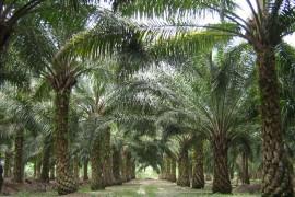 油棕树和蜂鸟科里布的神话传说故事