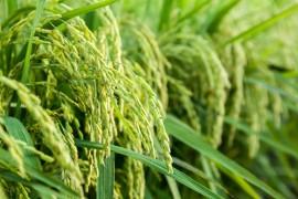 水稻的发展史,你了解多少?