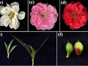 """""""纯色""""桃品种改良有了遗传机制基础"""