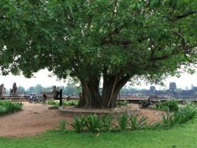 夫妻树(菩提树和橡树)的神话故事