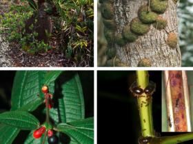 猫须李、蚂蚁和真菌的互惠互利的合作平衡关系