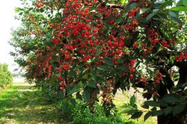 樱桃树与比拉穆、塔茜巴的爱情神话故事
