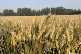 商丘优质小麦亩产首次突破800公斤大关