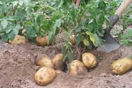 马铃薯的基础知识