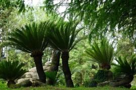 走近身边的珍稀濒危植物——苏铁