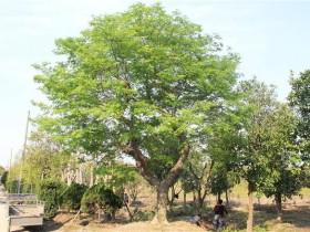 朴树的基础知识
