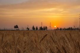小麦育种的步骤与育种人的心得和体会