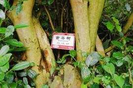 古茶树保护有了科学依据