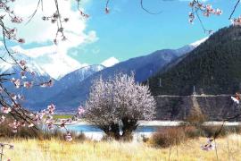 光核桃—桃的祖先在西藏