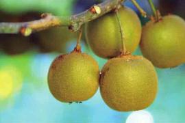 猕猴桃原产中国,却在新西兰成为传奇