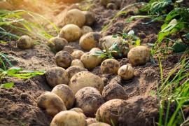 马铃薯的历史
